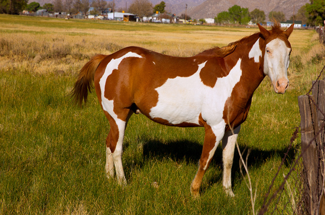 California pinto paint horse in farm grazing looking camera